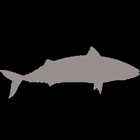 Тихоокеанская скумбрия