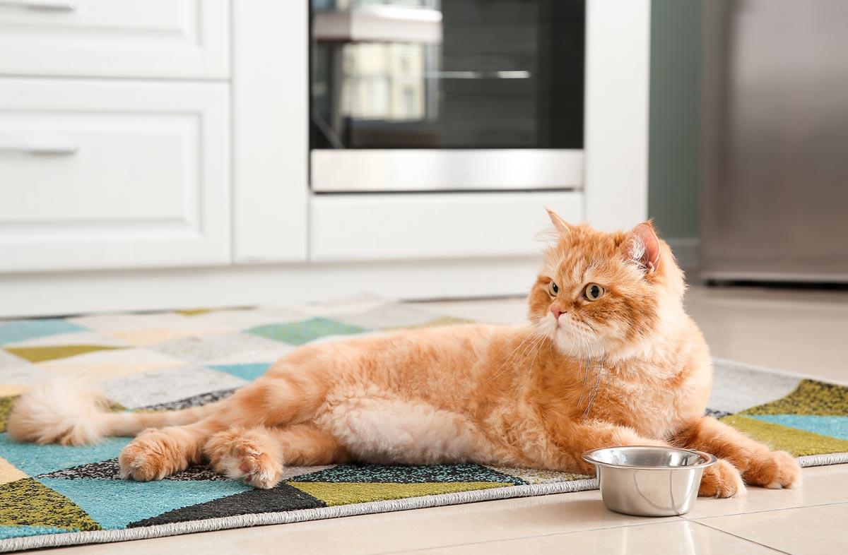 Чем лучше кормить кота: натуралкой или сухим кормом
