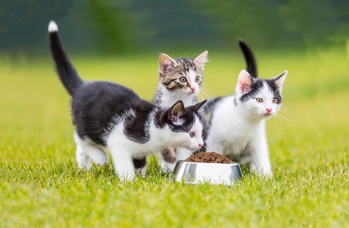 Как кормить котёнка в 3 месяца сухим кормом