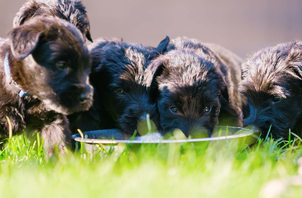 Как кормить сухим кормом щенка