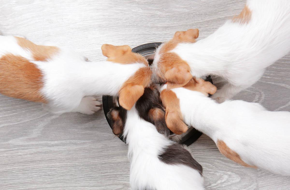 Каким сухим кормом кормить щенка