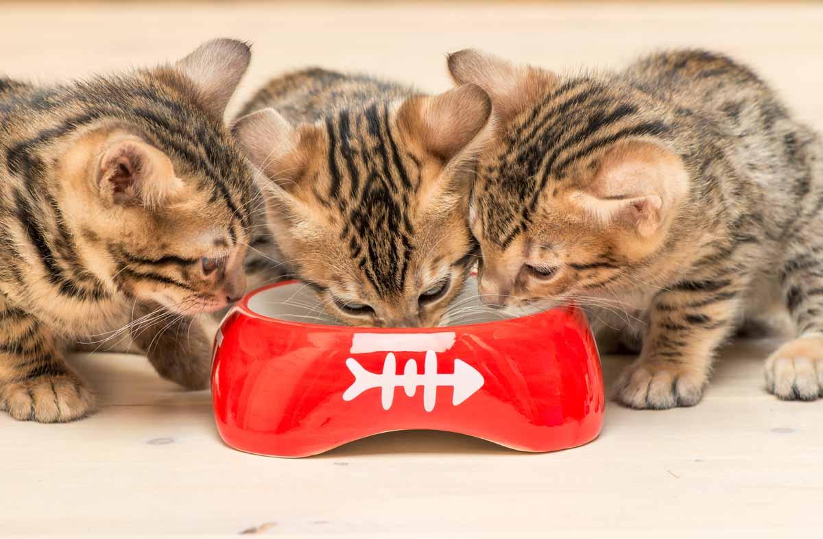 Кормление котёнка сухим кормом