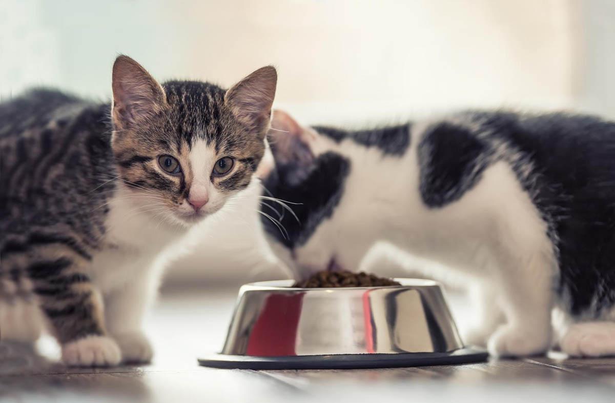 Можно ли кормить котёнка только сухим кормом