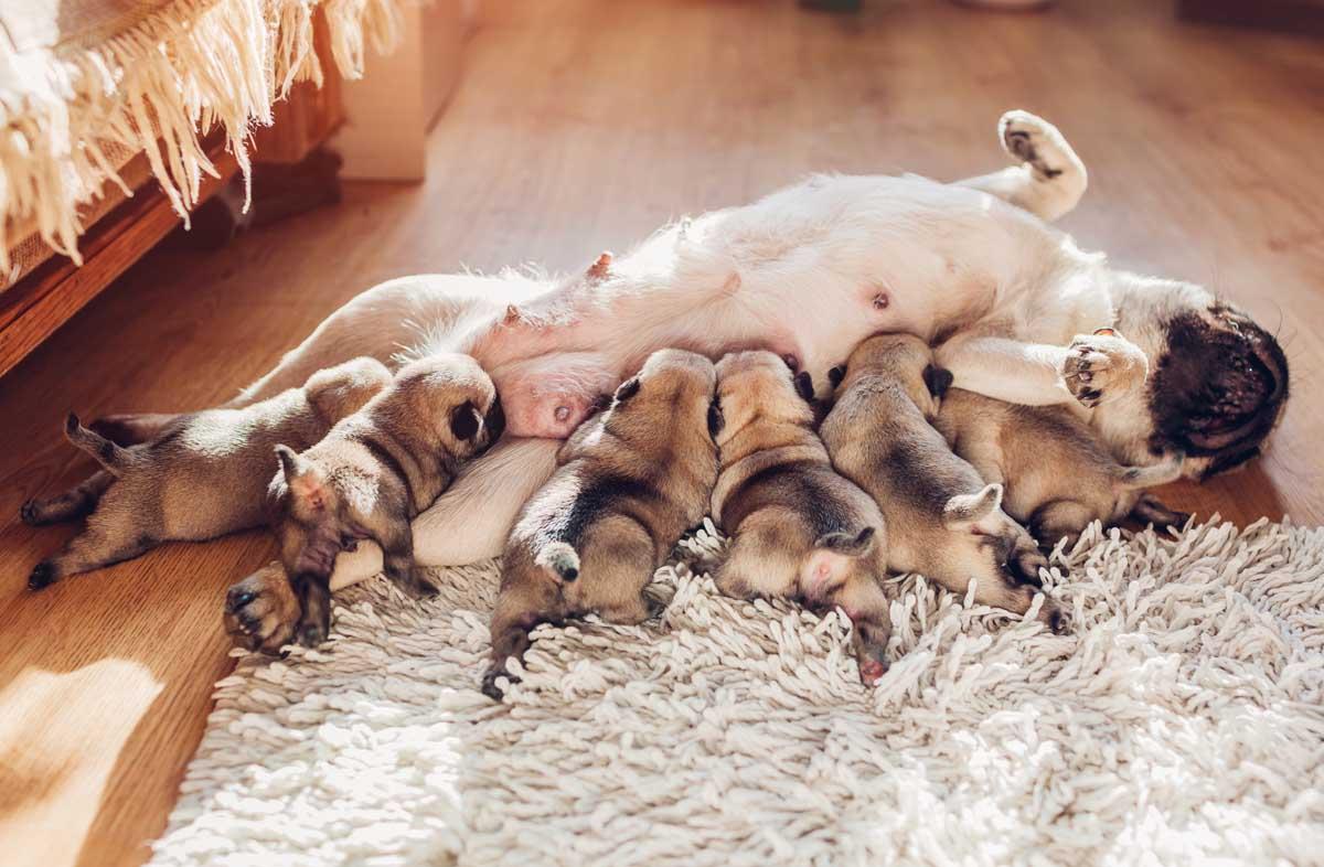 Нормы и режим кормления беременных и кормящих собак