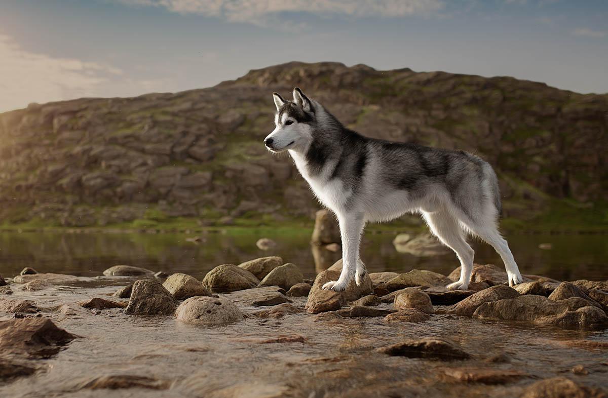 Собака хаски: характеристика породы, уход, особенности питания