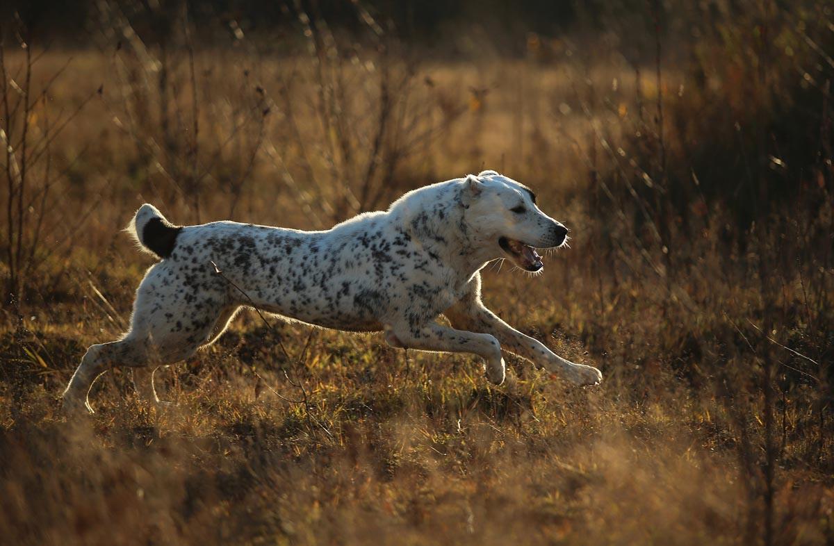 Питание собаки породы алабай
