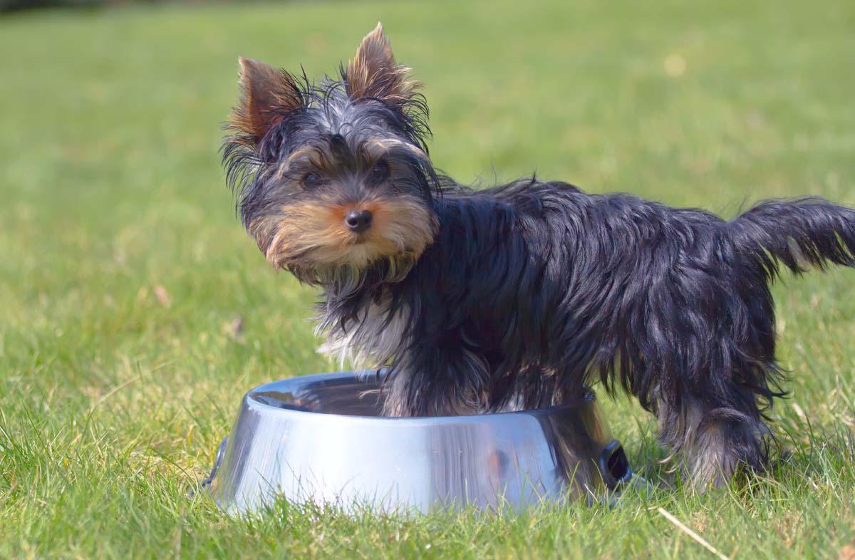 Питание собаки породы йоркширский терьер