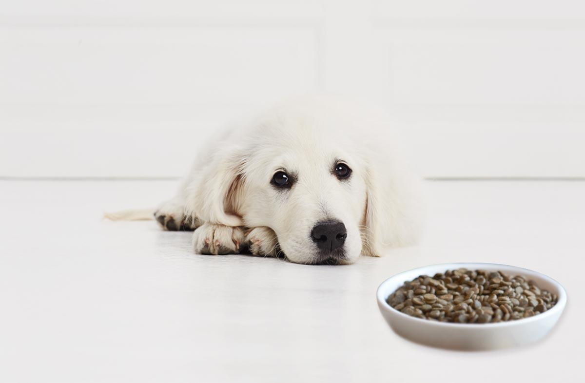 Щенок не ест сухой корм: что делать