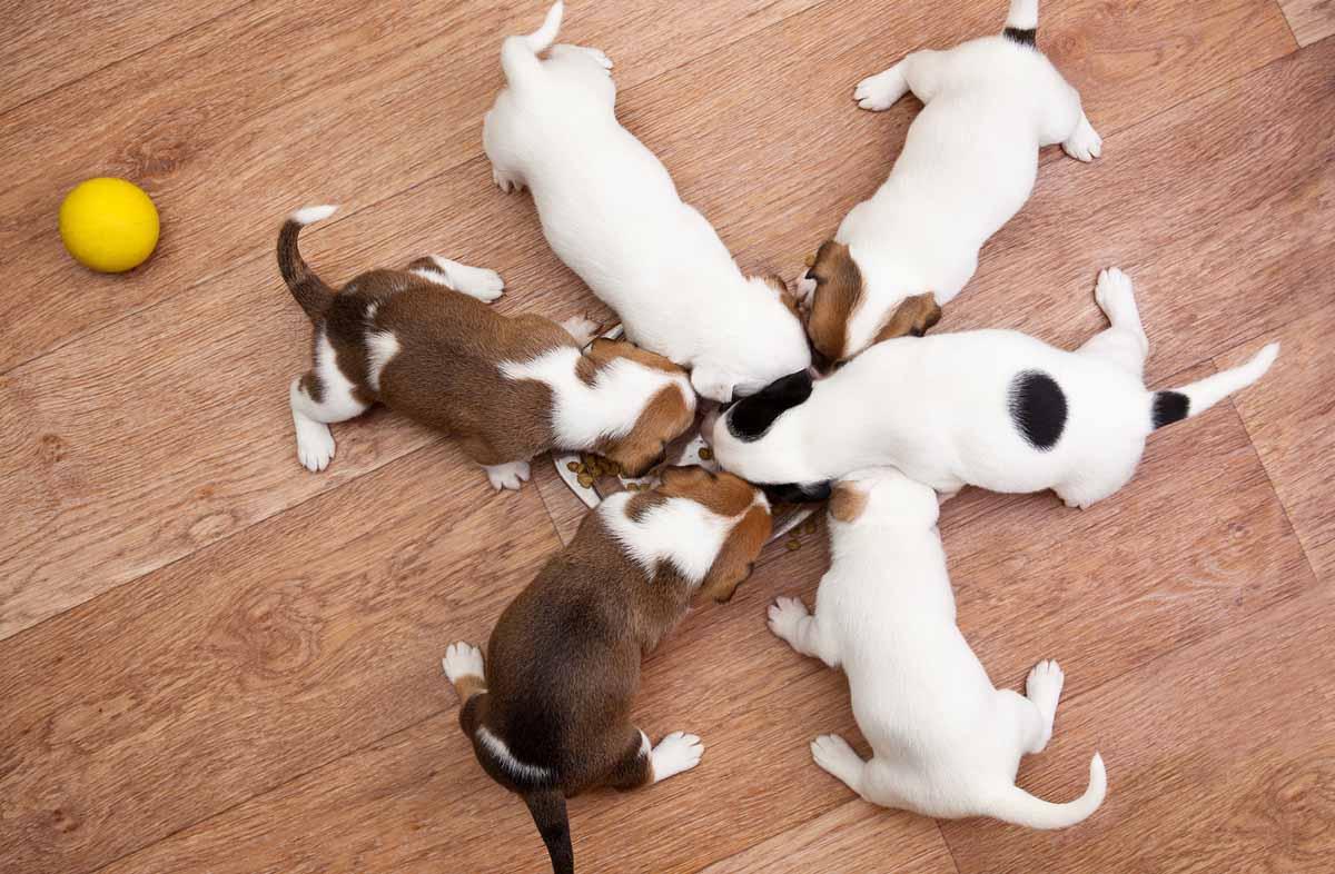 Подсосный период: перевод щенков с молока на корм