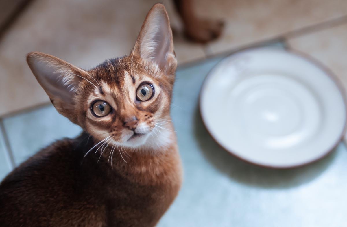Сколько времени кошка может без корма