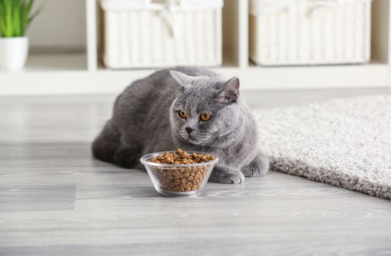 Как правильно кормить кота сухим кормом