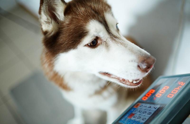 Как сбросить вес собаке на сухом корме
