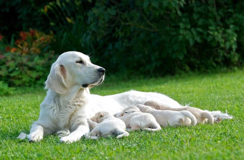 Выбор корма для беременных и кормящих собак