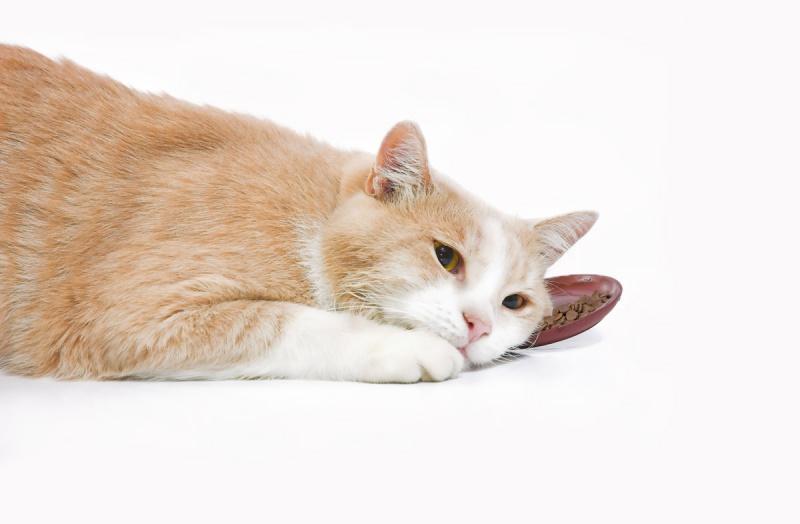 Кот не ест сухой корм — что делать
