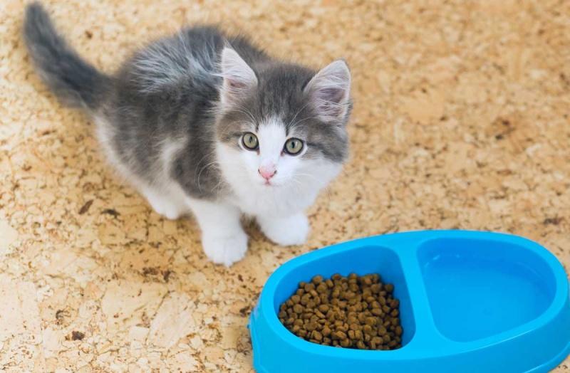 Котёнок плохо ест сухой корм