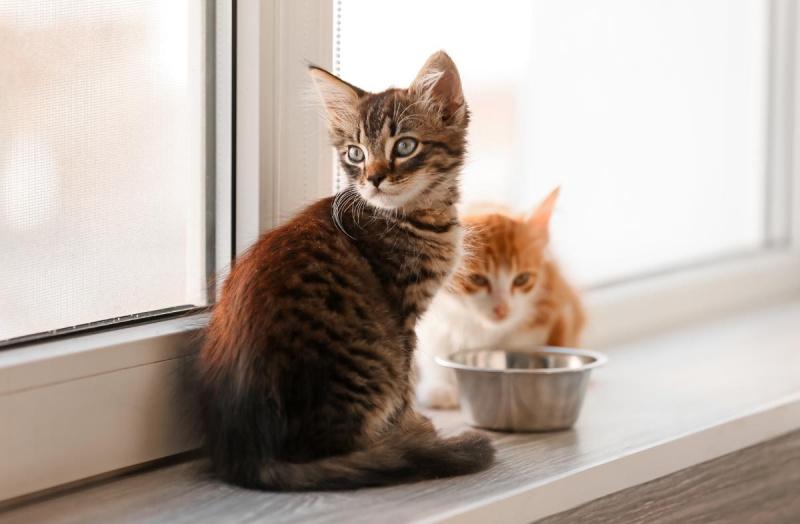 Котёнок не ест сухой корм: как приучить