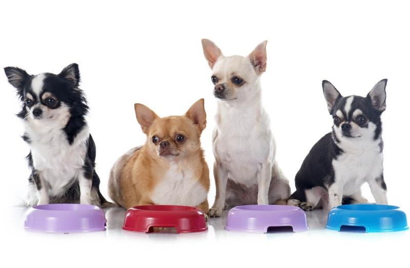 Порода собак чихуахуа: питание