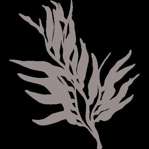 Бурая водоросль